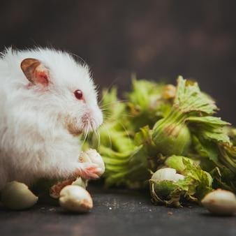 Hamster, der haselnuss auf einem dunklen braun isst.
