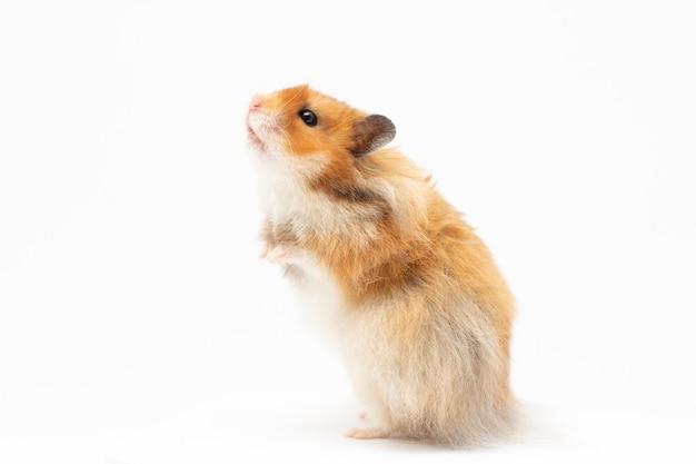 Hamster isoliert auf weißem hintergrund