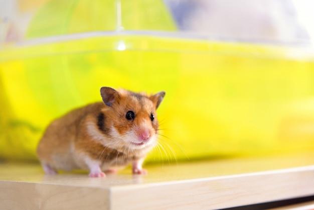 Hamster rennt in der nähe seines käfigs