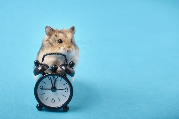 Hamster und schwarzer wecker auf blauem hintergrund kopieren raum