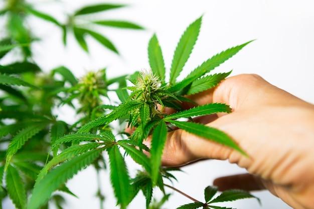 Hand berührt vorsichtig einen cannabisbusch in hellem licht mit weißem hintergrund. medizinische marihuanablätter der sorte jack herer sind eine kreuzung aus sativa und indica. pflege und anbau.