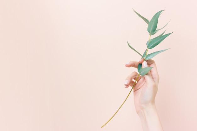 Hand der frau, die eine niederlassung des eukalyptus auf nacktem hintergrund hält