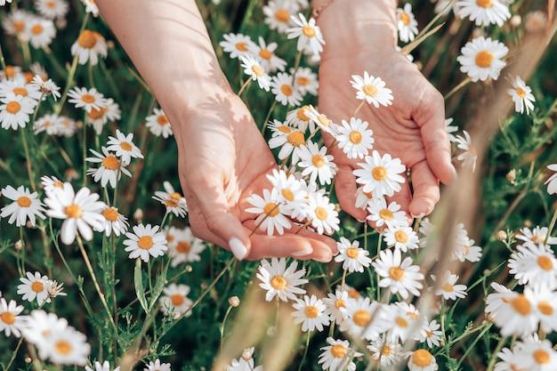 Hand der frau, die frische weiße gänseblümchen in der grünen wiese im hintergrund hält, nahaufnahmefoto