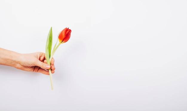 Hand der person, die frische tulpenblume auf weißem hintergrund hält