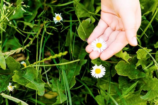 Hand des kindes, das eine weiße gänseblümchenblume im gras pflückt
