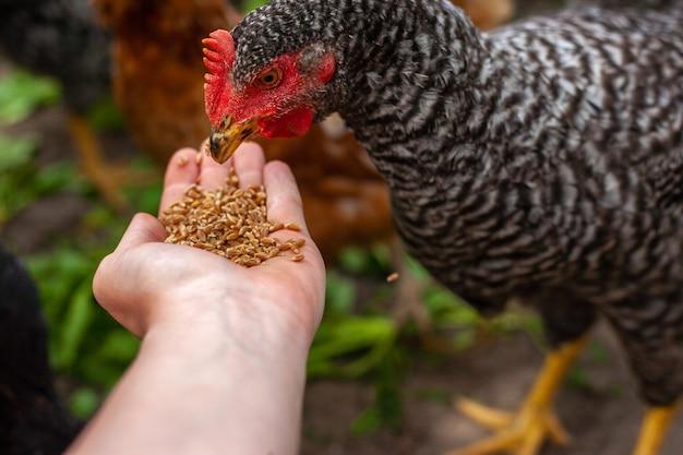 Hand des landwirts, der huhn mit getreide auf dem bauernhof im freien füttert