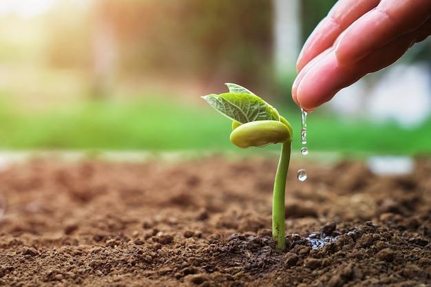 Hand des landwirts wässernd zu den kleinen bohnen im garten