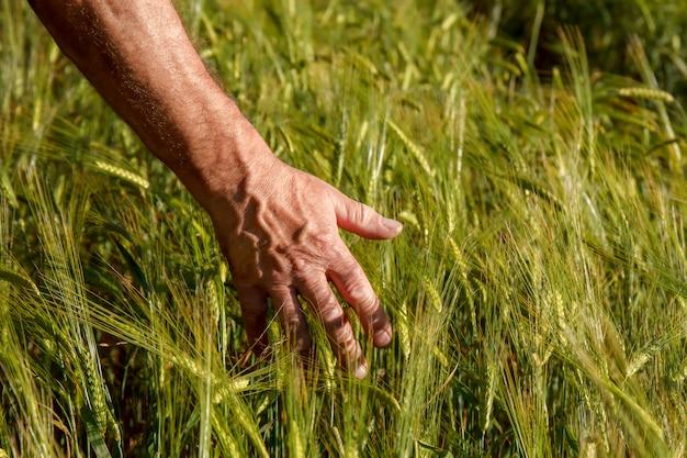 Hand des mannes, die spicas des weizens auf einem weizengebiet hält