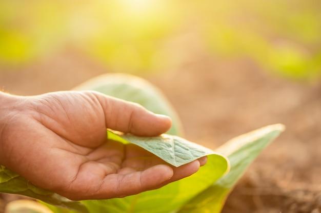 Hand des rührenden blattes des landwirts der tabakpflanze