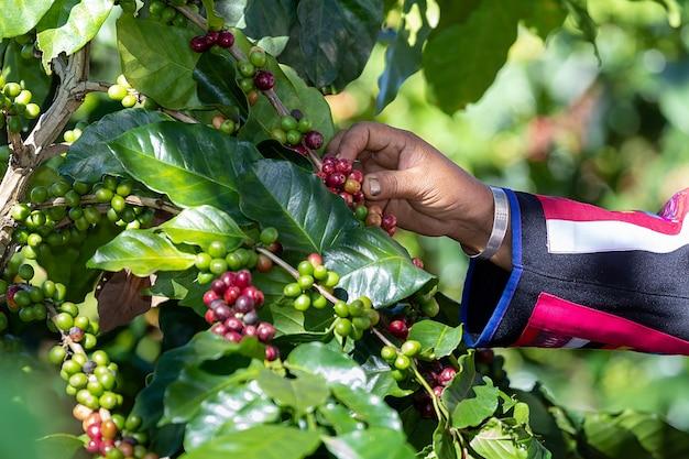 Hand des stammes erntet kaffeebohnen von der niederlassung