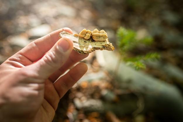 Hand des zoologen, der einen bruchteil des kieferknochens für braunbär hält