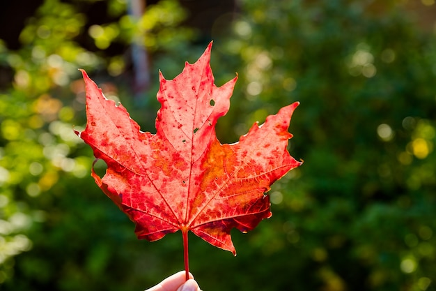 Hand, die ahornblatt gegen natur unscharfer hintergrund mit sonnenlichtstrahlen hält. herbstzeit saison.