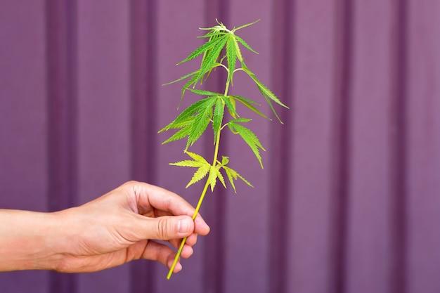 Hand, die cannabispflanze hält, spross des hanfgrases. legalisierung von cannabis, marihuana, kräuterkonzept. junge marihuana-blätter.