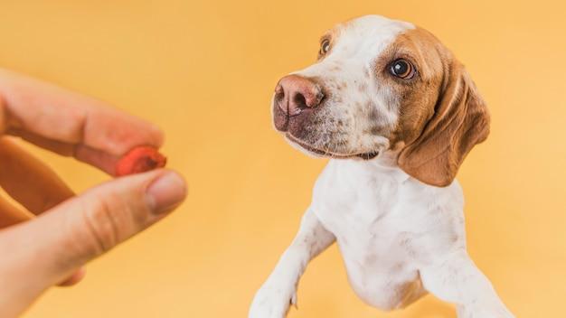 Hand, die dem reizenden hund lebensmittel gibt