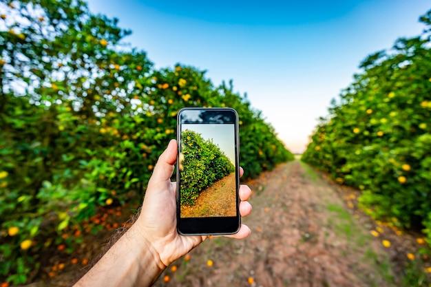Hand, die ein cel-telefon vor einem orangenbaum hält. landwirtschaftliches designmodell.