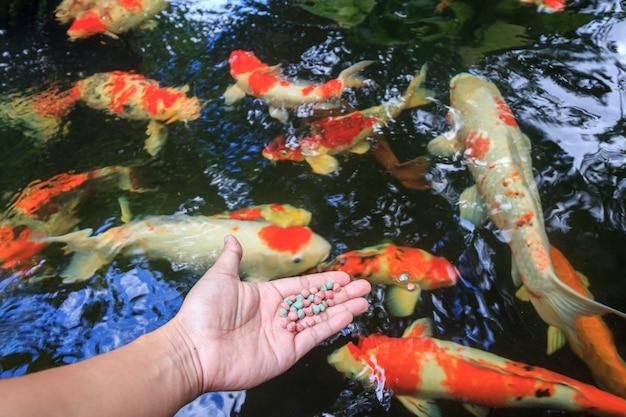 Hand, die fischfutter mit fischteichhintergrund hält