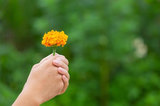 Hand, die gelbe schöne blühende blumen unter natur hält