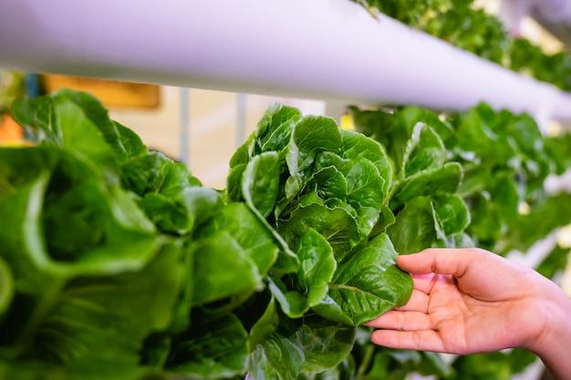 Hand, die gemüse in der vertikalen farm der hydroponik mit hightech-landwirtschaft hält. landwirtschaftliches gewächshaus mit hydroponischem regalsystem.
