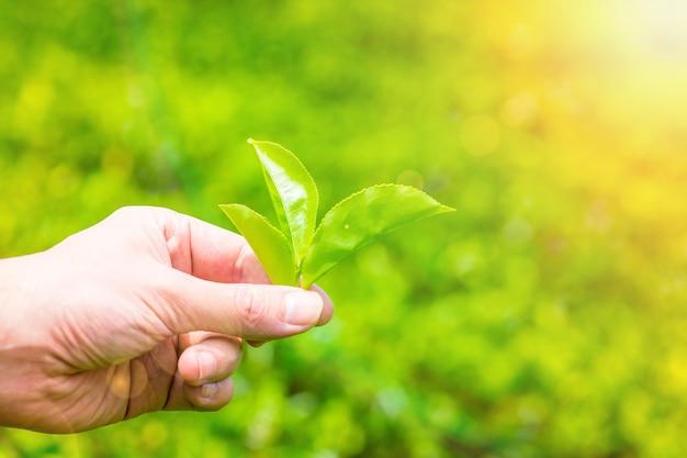 Hand, die grüne teeblätter an einer teeplantage aufnimmt. frische teeblätter in einer teefarm in sri lanka