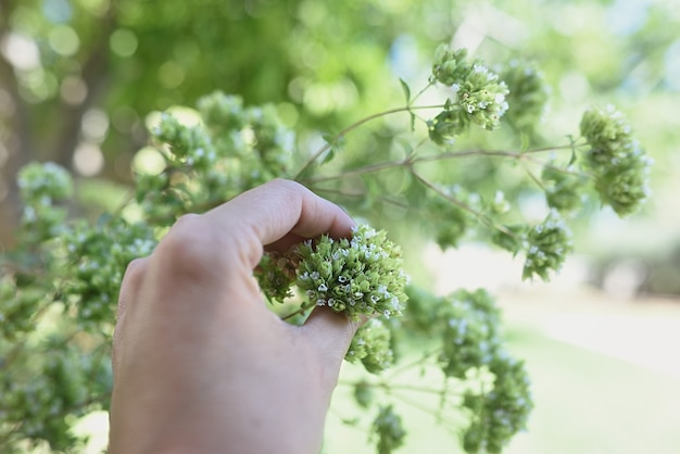 Hand, die im sommer wilden oregano sammelt.