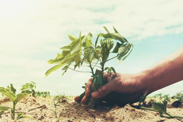 Hand, die maniokabaum im ackerland mit himmel hält. landwirtschaftskonzept