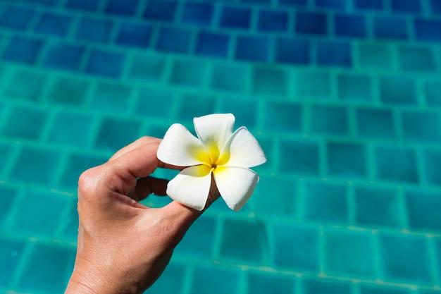 Hand, die plumeria frangipaniblume im swimmingpool hält