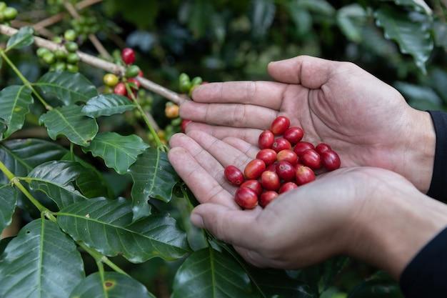 Hand, die reife kaffeebohne hält