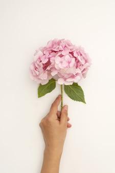 Hand, die rosa hortensienblume auf weißem hintergrund hält