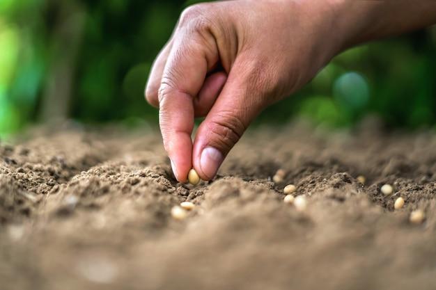 Hand, die sojasamen im gemüsegarten pflanzt. landwirtschaftskonzept