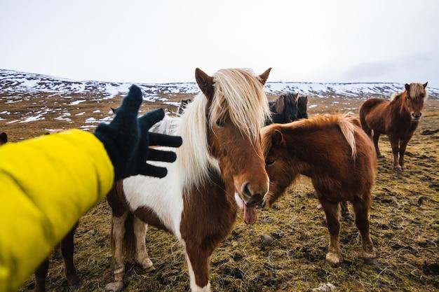 Hand, die versucht, ein shetlandpony in einem feld zu berühren, das mit gras und schnee in island bedeckt ist