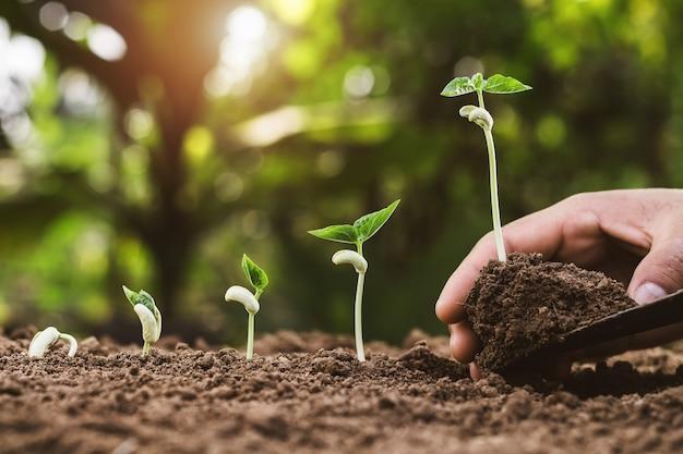 Hand, die wachsenden schritt des wachstums im garten mit sonnenschein pflanzt