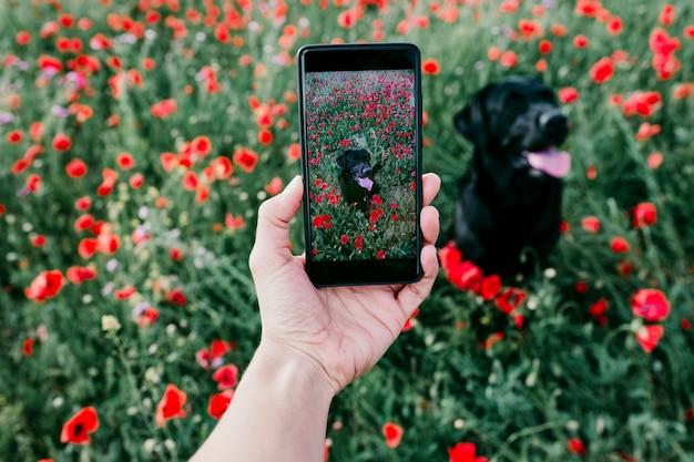 Hand einer jungen frau, die einem schönen schwarzen labrador auf einem mohnblumengebiet ein foto mit handy macht