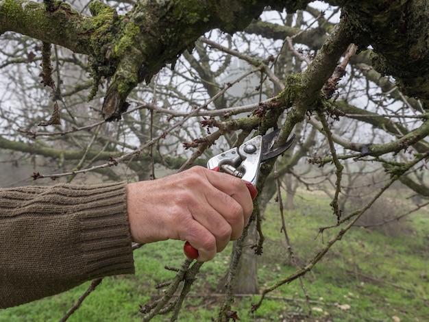 Hand eines mannes, der einen jungen baum mit einer schere beschneidet, auf einem feld im herbst an einem nebligen tag
