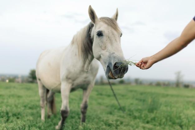 Hand füttert ein weißes pferd. pferdenase nahaufnahme.