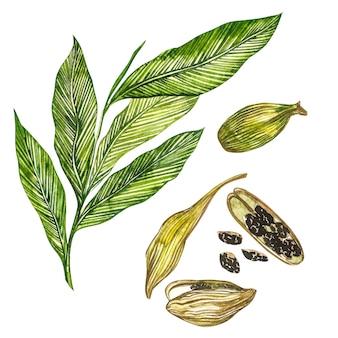 Hand gezeichnete aquarellillustration der kardamompflanze des gewürzs.