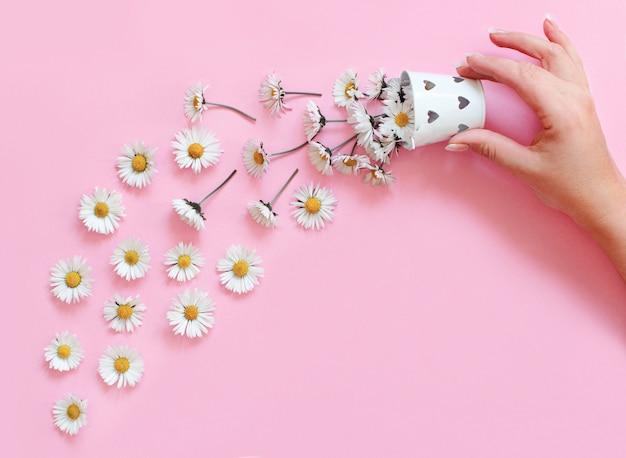 Hand hält eimer mit weißen gänseblümchen, die auf einen hellrosa hintergrund fallen