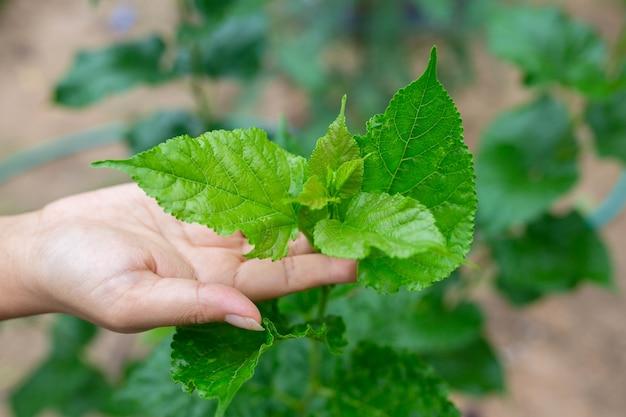 Hand hält eine pflanze, grüne blattpflanze.