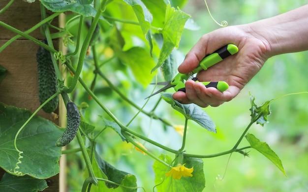 Hand hält gartenschere, um zweige auf gurkenpflanze im gemüsegarten abzuschneiden