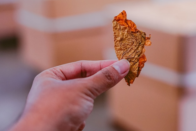 Hand hält getrocknetes tabakblatt
