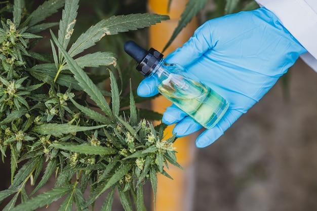 Hand hält sativa cannabisölextrakt essentiell aus marihuana-blättern für pflanzliche medizinische naturpflanzen.
