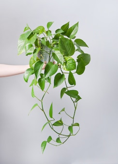 Hand halten hauspflanze scindapsus in einem topf auf grauem hintergrund