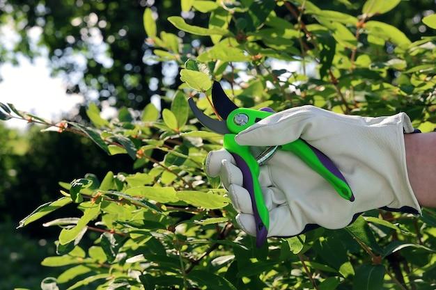 Hand in lederhandschuh schneidet zweig des busches mit gartenschere im garten