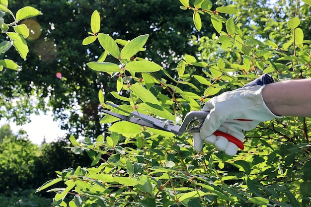 Hand in lederhandschuh trimmen busch im garten mit schere