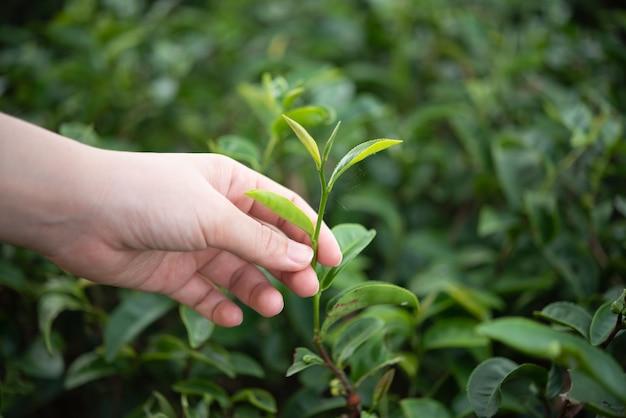 Hand leute, die grüne teeblätter an der farm pflücken
