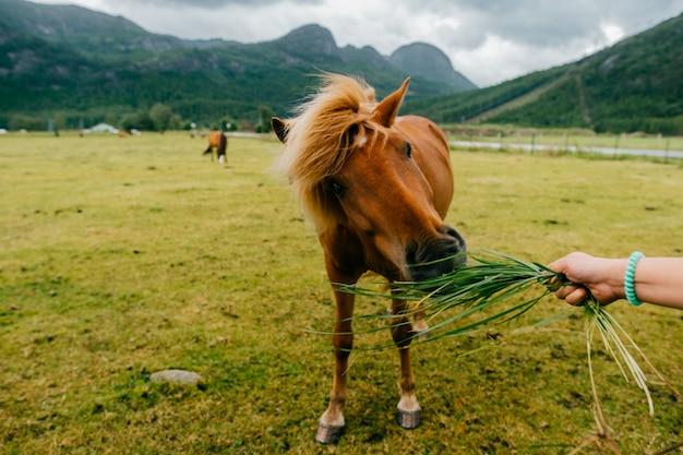 Hand mit gras fütterndes pferd auf der weide