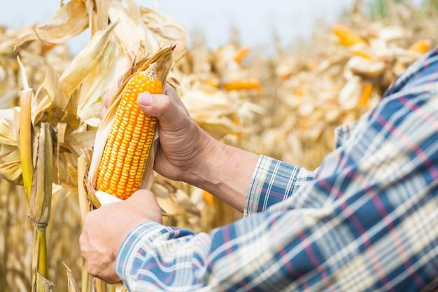 Hand- oder mann- oder mann-landwirt, der maiskolben auf anlage hält oder erntet