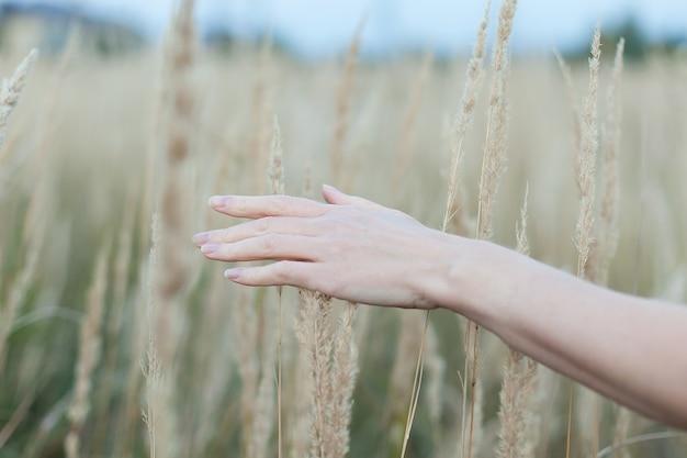 Hand streichelt ein paar ähren auf einem feld bei sonnenuntergang.