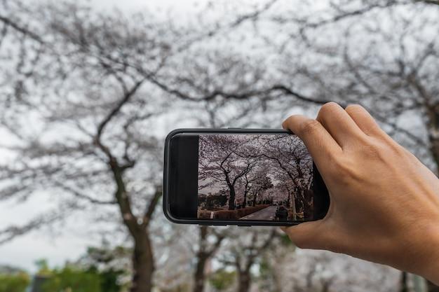 Hand unter verwendung des smartphone zum machen eines fotos von frühlingskirschblüten