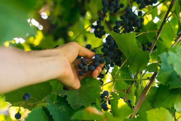 Hand wählt traubenernte für wein am sommertag im gartenbauernhof aus