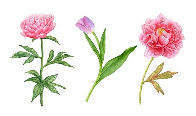 Hand zeichnete aquarellrosa pfingstrosen, lila tulpe mit blättern lokalisiert auf weiß